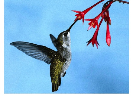 http://www.hedweb.com/animimag/hummingbirds.htmより転載